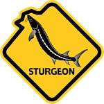Sturgeon Leaping