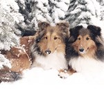 Snow Shelties
