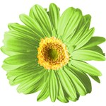Pop Art Green Daisy T-shirts & Gifts