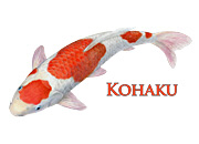 Kohaku Koi