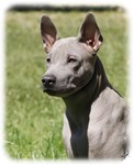 Thai Ridgeback 9Y815D-302