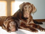 Sunshine Chocolate Labs