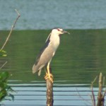 Other Herons
