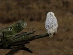 Snowy Owl Perched
