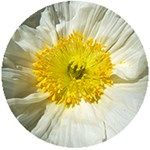 White Icelandic Poppy