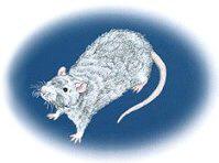 <b>Rex Rat</b>