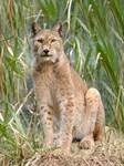 Siberian Lynx Long-Sleeved Shirts/Hoodies