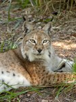 Siberian Lynx Buttons & Magnets