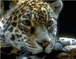 Leopard Shirts, Leopards