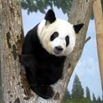 Giant Panda Bears, Panda Gifts