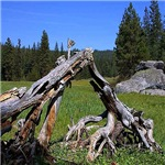 Yosemite Meadow Logs
