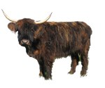 Heritage Cattle