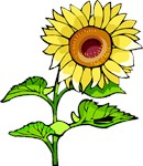 Sunflowers Are Gifts From The Garden!