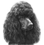 Black or Chocolate Poodle