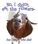Goat ate flowers