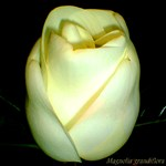 Magnolia grandiflora Evening Blossom