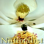 Naturalist: Bumble Bee & Magnolia Flower