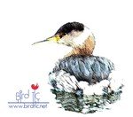 Grebe on the Water