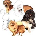 Breeds starting with P-R