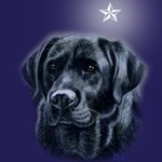 Christmas Star Black Labradors