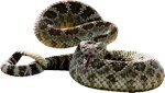 Rattlesnake Photo Gifts
