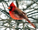 Finch Red Cardinal