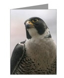 <h3><b>Falcon Single Greeting Cards</b></h3>