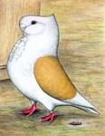 Turbit Pigeon
