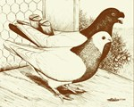 Chinese Flying Pigeon