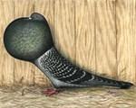 German Cropper Pigeon
