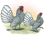 Sebright Bantam Chickens