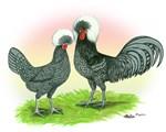 Blue Polish Chickens