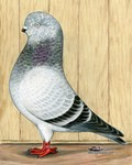 Canadian Show Tippler Pigeon in Blue Grizzle