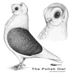 Polish Owl