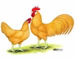 Buff Leghorn Chickens