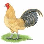 Blue-tail Buff Cock