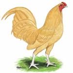 Buff OE Cock