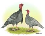 Blue Turkeys