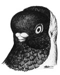 Moorhead Shortface Pigeon