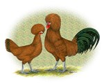 Polish Red Fowl