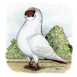 Red Helmet Pigeon