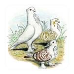 Seraphim Pigeons