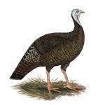 Turkey:  Eastern Wild Hen