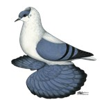 Swallow Pigeon Blue