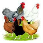 Sex-link Chicken Quintet