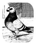 Antwerp Short Faced Pigeon