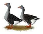 Tufted Toulouse Geese