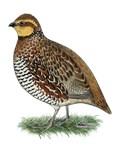 Bobwhite Quail Hen
