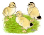 Silver Appleyard Ducklings