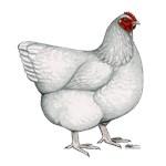 Orpington White Hen